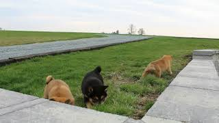 Download Shiba Inu Puppies For Sale Amos Kauffman Video