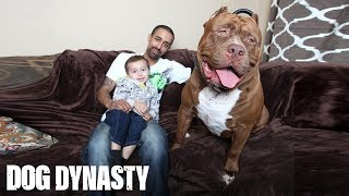 Download Meet 'Hulk': The Giant 175lb Family Pit Bull | DOG DYNASTY Video