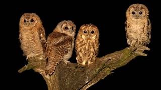 Download A tragic tawny owl tale with a happy ending Video