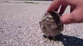 Download Baby Owl caressed in Verona Video
