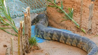 Download Snake Trap Technology - Awesome Big Snake Trap Using Cage Trap Video