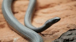Download Why Do Venomous Animals Live In Warm Climates? Video