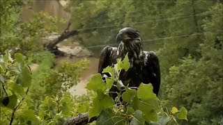 Download Decorah Eagles- Decorah Male And Eaglet After The Rain Video