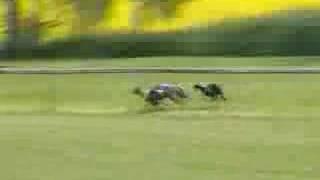 Download Whippet racing, 30.6.2007 Helsinki ( lähtö 18) Video