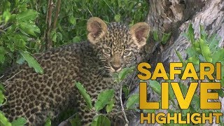 Download Little leopard learning valuable life skills with mom! Video