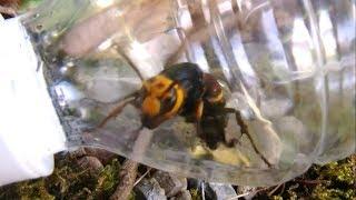 Download ペットボトルでスズメバチを捕獲したら逆襲された!!?? Video