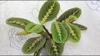 Download Maranta leuconeura - Marante, Prayer Plant Video