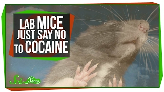 Download Mice That Resist Cocaine Addiction Video