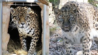 Download Big Cat Rescue Takes In A Jaguar And Rare Amur Leopard Video