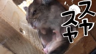 Download ハムスター【生後16日目】眠くなる動画 Video