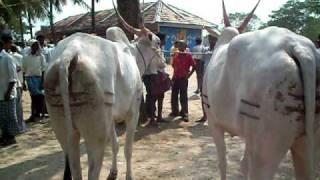 Download bull-ox cart race giriyapura 42 Video