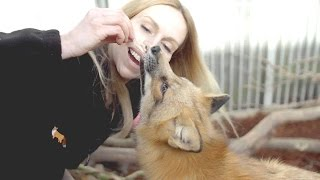 Download SUPER CUTE WILD RED FOXES! & I got to feed them Video
