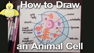 Download How to Draw an Animal Cell Diagram -Homework Help | DoodleDrawArt Video
