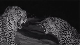 Download SafariLive Sept 13 - Young leopards Hosana and Thamba together! Video