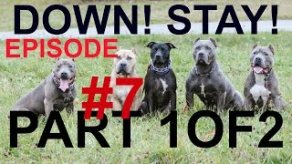 Download episode 7 dog puppy training the down stay obedience fundamentals pit bull trained Video