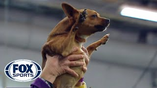 Download Best of the 2018 Masters Agility Championships | WESTMINSTER DOG SHOW (2018) | FOX SPORTS Video