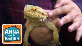 Download Mini-Dinos: Agamen   Reportage für Kinder   Anna und die Haustiere Video
