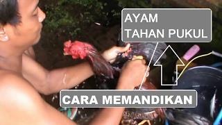 Download CARA MEMANDIKAN AYAM AGAR TAHAN PUKUL | FISIK AYAM TAHAN PUKUL Video