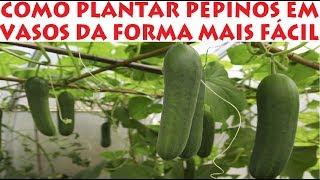 Download Como plantar PEPINO em Vasos da Forma mais fácil que existe! Video