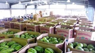 Download North Carolina Watermelon Harvest Video