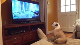 Download Bulldog Tries To Protect Leonardo DiCaprio From Bear Attack! Video