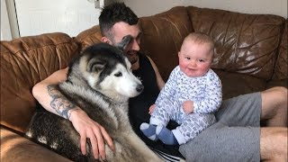 Download When my baby is crying I just bring in the huskies! Video
