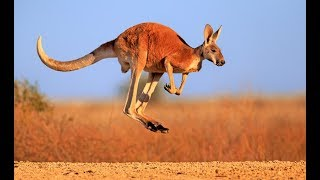 Download Kangaroo - Australian Kangaroos Documentary (Kangaroo Life) Video
