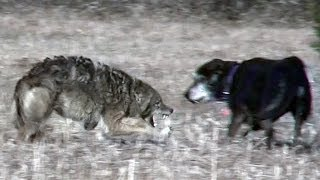 Download Coyote attacks unleashed pet dog Video