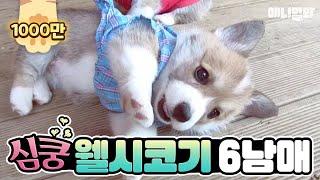 Download 동물농장 웰시코기 6남매 레전드!!! Video