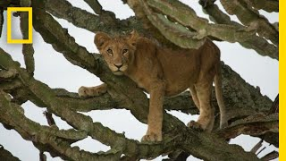 Download Tragic Poisoning of Lion Cubs in Uganda, a Filmmaker Reflects | National Geographic Video