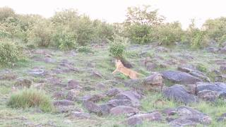 Download Mara North Conservancy, Kenya - Lion cubs (Cheli and Peacock Pride) 2018 Jan. 13 Video