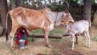 Download My Mom Milking Cow - Village Life Of Rural Rajasthan India | RJ 22 RIDER Video