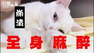 Download 【豆漿 - SoybeanMilk】禁食12小時 吃貨貓咪崩潰了 Video