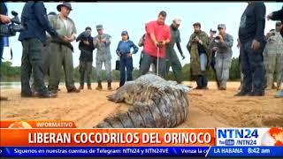 Download Al oeste de Colombia fueron liberados 15 cocodrilos del Orinoco, animal originario del país Video
