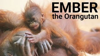 Download Baby orangutan compilation | Ember, from 6 weeks to 3 years old Video