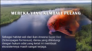 Download Keren dan mengharukan Kembalinya ikan Siluk ke habitat asalnya - The greatest moment of arowana life Video