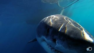 Download One of the Biggest Great Whites Ever Filmed | Jaws Strikes Back Video