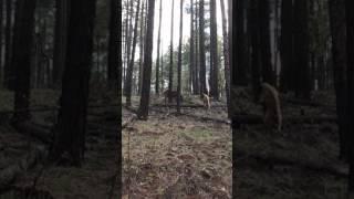 Download Bear vs.Elk Video