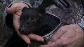 Download The rescue of Little Michael - the wild piglet Video