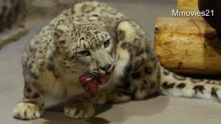 Download 肉を食べるユキヒョウ シジム〜Snow Leopard is eating Video