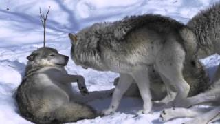 Download Female Timber Wolf in Heat - Parc Omega Canada Video
