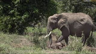 Download Safari Live Face Book : The Sad Baby Elephant Story told by Jamie Oct 20, 2017 Video