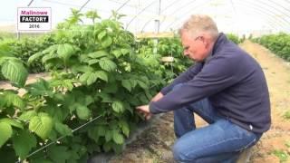 Download Regulacja liczby pędów w uprawie malin owocujących na tegorocznych pędach Video