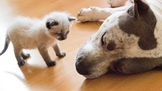 Download Best Of Dogs Meeting Kittens For The First Time Compilation 2015 Video