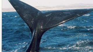 Download In Hermanus Southern Right whales really do rule! Video