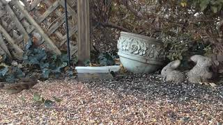 Download Backyard Wildlife: Dark-Eyed Junco - Friday December 1st, 2017 Video