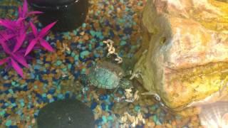 Download Turtle Destroys Shrimp | Red Eared Slider Video