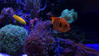 Download How to Remove Nitrates - New corals, Fish & Shrimp - Reef Update Video