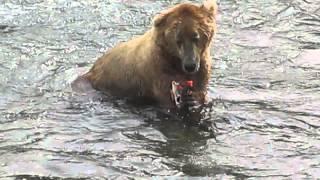 Download Alaskan Brown Bear Eating Salmon in Katmai National Park Video