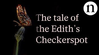 Download The tale of the Edith's checkerspot: Butterflies caught in an evolutionary trap Video